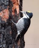 Male Black-backed woodpecker Gifford Campground