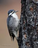 Female black-backed woodpecker Gifford Campground