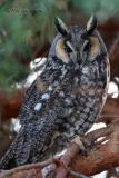 long-eared  Owl Moxee