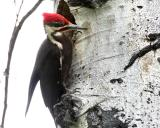 Pileated Male