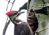 pileated female and babies