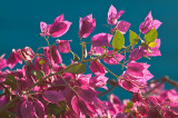 105-DSC_1662-Bougainvillea hedge.jpg