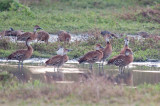 148-DSC_1764-Whistling Ducks.jpg