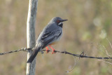 16-DSC00108-Red-legged Thrush.jpg