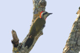 200-DSC_1889-Cuban Woodpecker.jpg