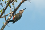 205-DSC_1915-W.Indian Woodpecker.jpg