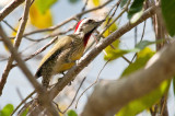 208-DSC_1930-Cuban Woodpecker.jpg