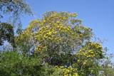 214-DSC00436-Yellow tree.jpg