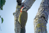 216-DSC00440-Cuban Woodpecker.jpg