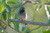 222-DSC_1945-Y-Faced Grassquit.jpg