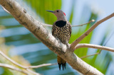 63-DSC_1587-Cuban Flicker.jpg