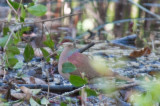 7-DSC_1362-Key West Quail-Dove.jpg