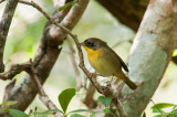82-DSC_1618-C.Yellowthroat.jpg