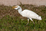 85-DSC_1638-Cattle Egret.jpg
