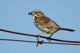 Song Sparrow DSC00831-Edit.jpg