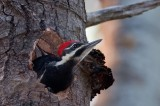 Pileated Chick DSC_4902-1.jpg