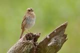 Nelson's Sparrow DSC_4975-Edit.jpg