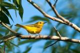 Yellow Warbler DSC_4996-1.jpg