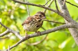 Young Song Sparrow DSC_5131-Edit.jpg
