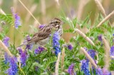 Savannah Sparrow in Vetch DSC_5152-1.jpg