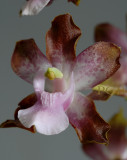 Cyrtopodium pallidum, close  flower 2.5 - 3 cm
