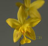 Spathoglottis lobii, flower 3 cm
