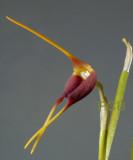 Masdevalia rolfeana, total height of flower 8-9 cm
