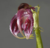 Masdevalia sp.  flower 2.5 cm