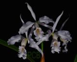 Catt. maxima var. coerulea
