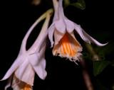 Dendrobium longiflorum