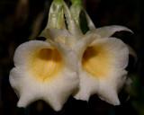 Trichopilia sp.