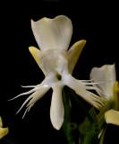 Pecteilis suzannae