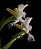 Pecteilis suzannae-Habenaria suzannae