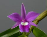 Dimerandra  emarginata, flower 2 cm,  Mexico - Ecuador