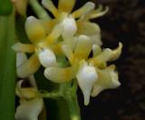 Saccolabium odoratissimum alba