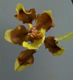 Oncidium planilabre, flower 3 cm
