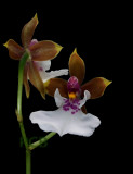 Oncidium alticola, flower 2.5 cm