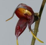 Masdevalia dimorphotrica, 3 cm across