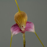 Masdevallia caudata, flower 9 cm