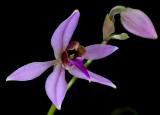 Ancistrochilus rothschildianus, flower 5 cm