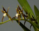 Ada elegantula, spike 25 cm, flowers 2.5 cm