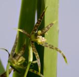 Ada maculata