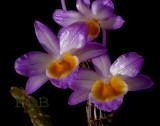 Dendrobium crepidatum,  Ueang Sai Nam Khieo,  flowers  4-4.5 cm across
