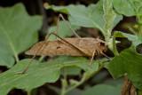 Great brown leaf