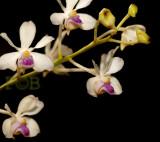 Vanda  lilacina, Thailand Uttaradit prov.