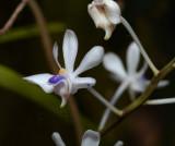 Vanda lilacina var. coerulea,  Laos