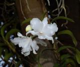 Dendrobium virgineum f alba (missing orange spot)  Ueang Nang Chee, Laos, about 1600 metres