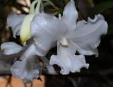 Dendrobium virgineum f alba, laos, flowers 11 cm