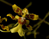 Oncidium hebraicum