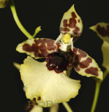 Oncidium spec. Brasil